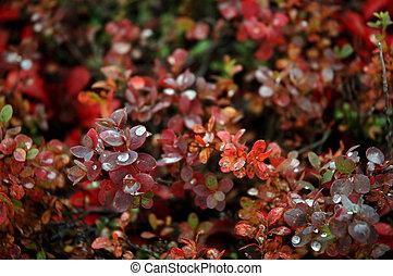 Cranberry bush - Alaskan cranberry bush showing vibrant fall...