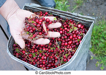 cranberry compilation. to collect a handful