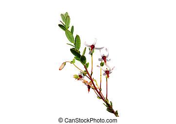Cranberry flowers (Vaccinium macrocarpon)