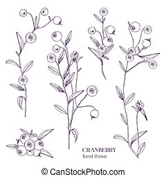 Cranberry set. Detailed hand drawn branches with berries. Black and white hand drawn illustrations.