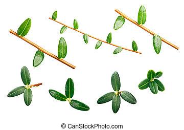 Cranberry v. macrocarpon leaves - American cranberry (...