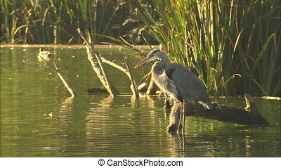 Crane And Ducks On Pond - MS of Blue Crane and ducks on Stow...