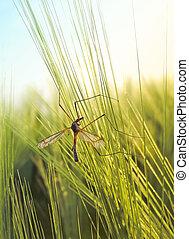 Crane fly in a wheat field