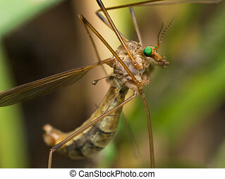 Crane Fly (Mosquito Hawk) with bright green eyes