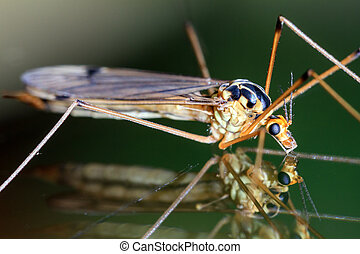 Crane fly reflection