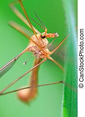 Crane fly (Tipula)