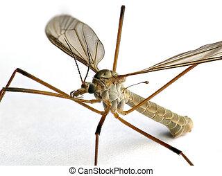 Crane fly, Tipulidae family, on white background