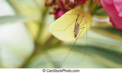 Crane fly Tipulidae or mosquito hawks or daddy longlegs....