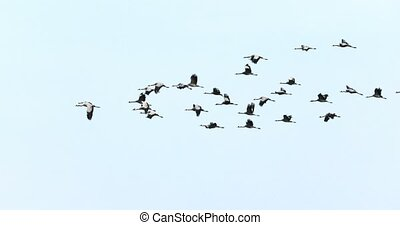 Crane migration in the Hortobagy, Hungary