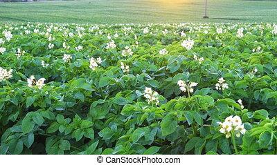 Crane shoot of a blooming potato field at morning, rural...