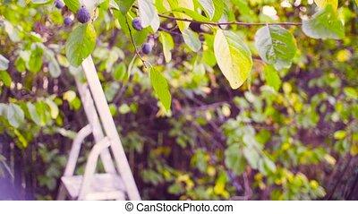Autumn in a garden. Stepladder near the plum tree - Crane...