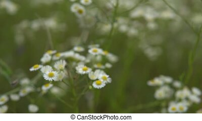 Crane shot from top view to flowers close up and fly through Chamomile flowers.