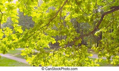 Oak tree branch in the park - Crane shot. Oak tree branch in...