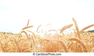 Crane Shot over ripe Wheat field.