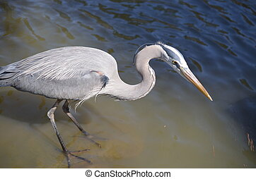 Crane upclose - A grey crane in th water and standing tall.