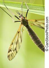 Cranefly (female)