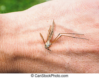 Cranefly insect laying dead on a hand