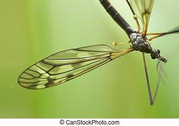 Cranefly (male)