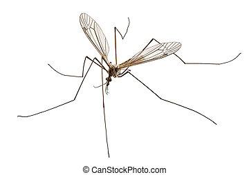 Cranefly species Tipula oleracea