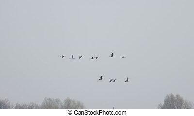 cranes fly north in spring, wildlife