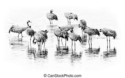 Cranes in a group getting ready for night in black and white