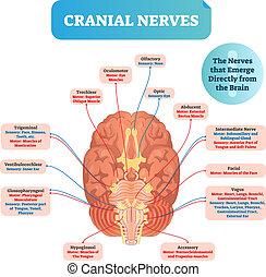 cranial nerver, vektor, illustration., benævnt, diagram,...