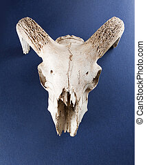 cranio animale