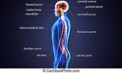 cranio, ilustração, anatomia, espinhal, osso, 3d