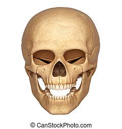 cranio umano, 3d