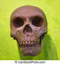 cranio umano, modello