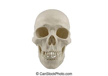 cranio umano modello