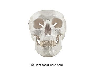 cranio umano, modello, isolato
