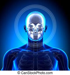 Cranium / Skull / Mandible - Anatom