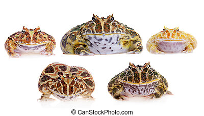 Cranwell's horned frogs set on white