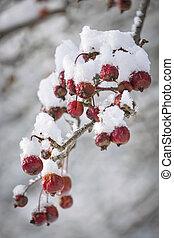 Crap apples on snowy branch