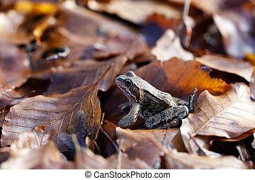 crapaud, feuilles, -, commun