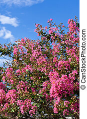 This is a picture of the crape myrtle flower and the blue sky I took in August.