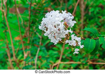 Crape Myrtle (Lagerstroemia indica).