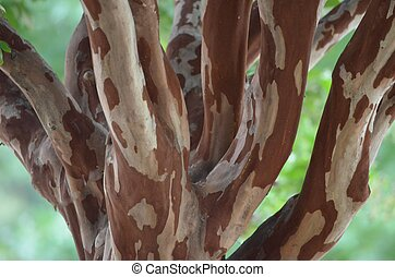 Closeup shot of a Crape Myrtle tree, unusual variations in wood color