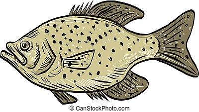 Crappie Fish Side Drawing - Drawing sketch style...