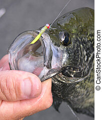 A crappie is hooked by a fly Fisherman on a micro jig