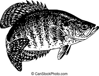 Drawn black and white vector of crappie