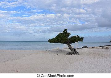 Crashing Waves Behind a Divi Tree on Eagle Beach