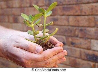 crassula, -, árvore dinheiro, em, mãos