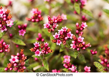 Crassula cooper, Crassulaceae, South Africa