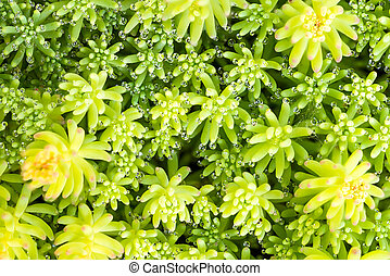 A variety of Stonecrop or Crassula, a nice succulent plant