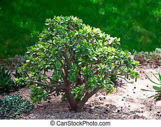 Dollar plant (crassula ) growing in a natural environment .