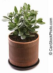 Crassula ovata in a clay pot
