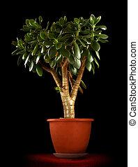 Crassula ovata - Jade Plant - Money tree Isolated on black background