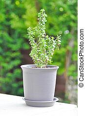 crassula ovata, jade plant plant or crassula plant